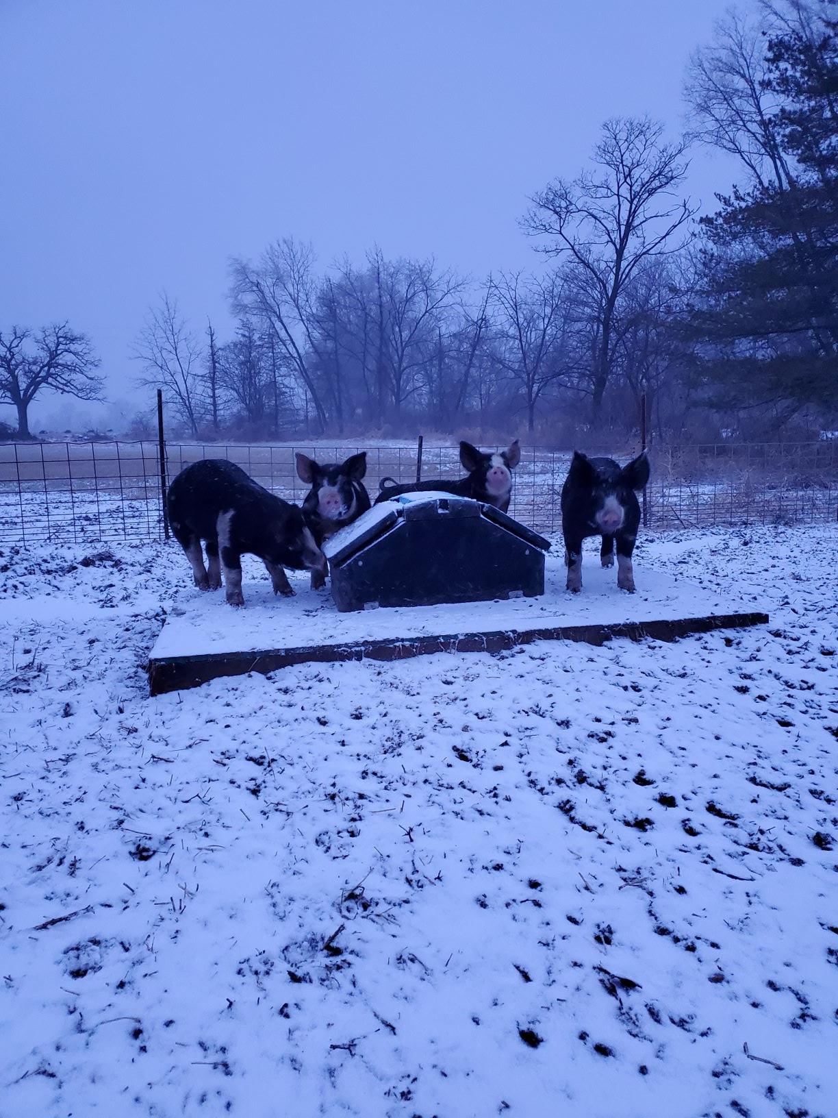 Winter Pig Life