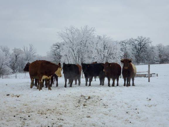 Cows living it up in the Winter!