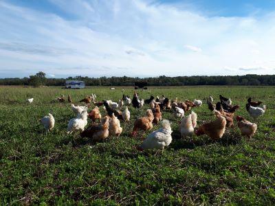 small-hens.jpg
