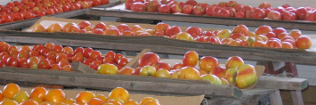 Tomato - Heirloom & Heritage mix