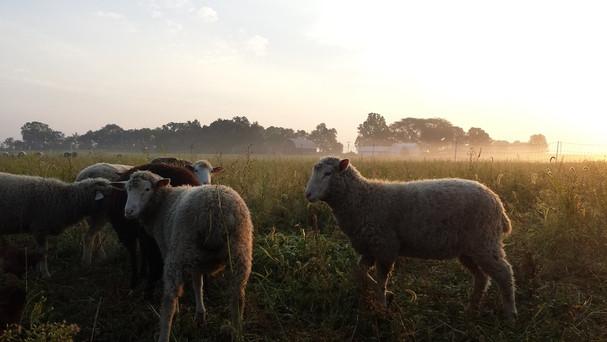 Grazing sheep at dusk