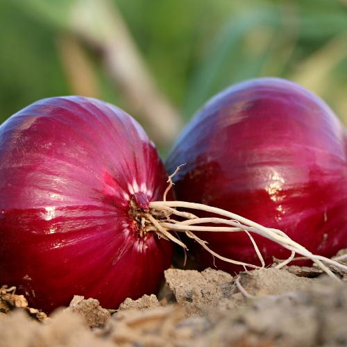 Plant Starts - Red Redwing Storage Onion