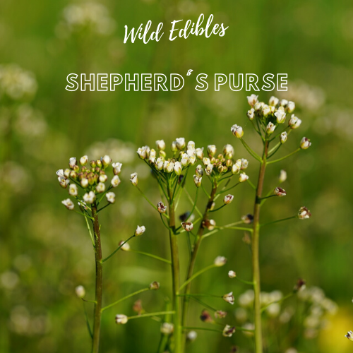 Wild Edibles - Shepherd's Purse