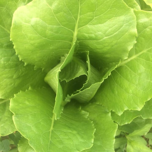 Romaine Lettuce - Head
