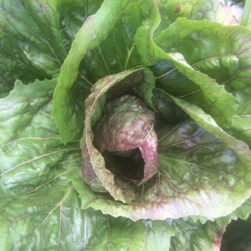 Red Fire Lettuce - Head
