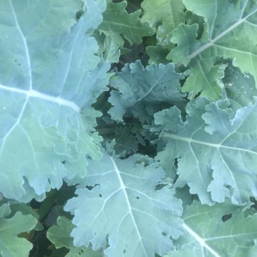 White Russian Kale - Bunch
