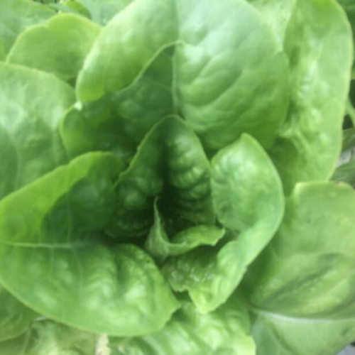 Buttercrunch Lettuce - Head