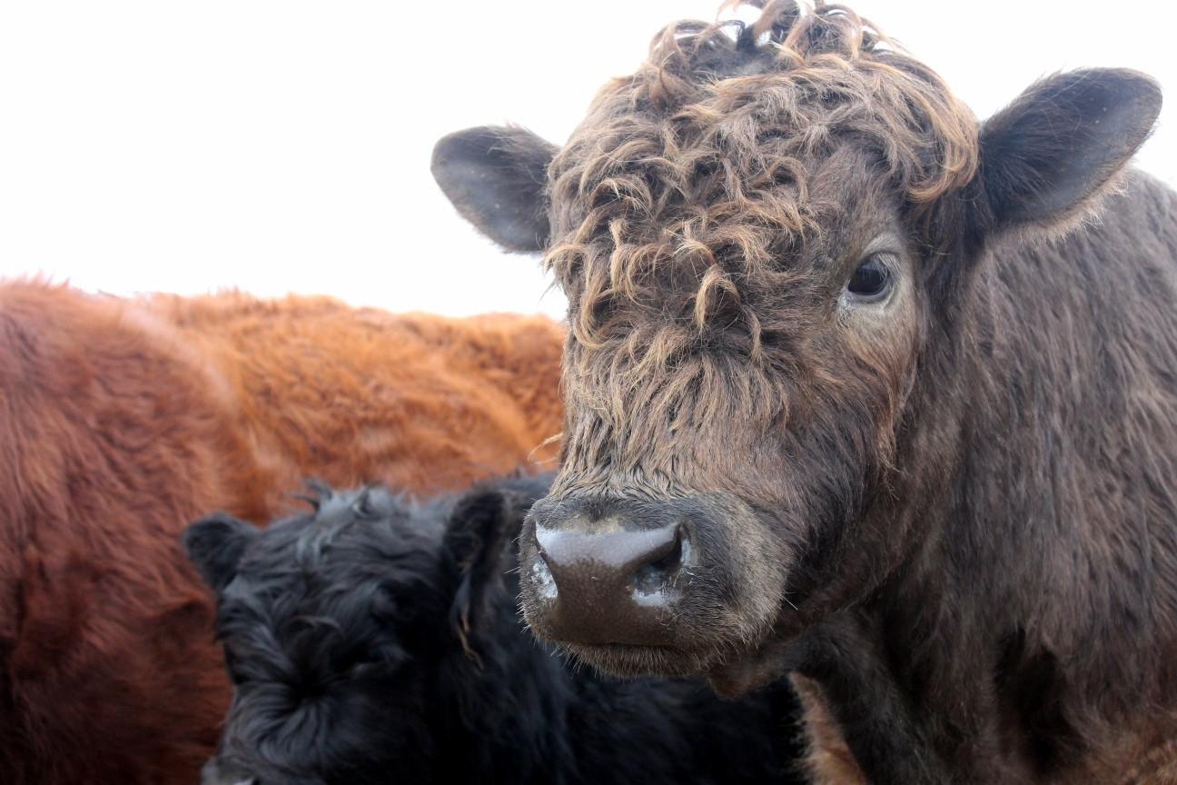 Hi cow!