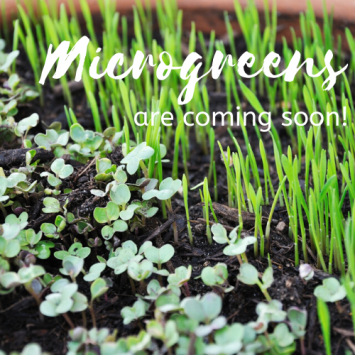 Microgreens - Spicy Salad Mix