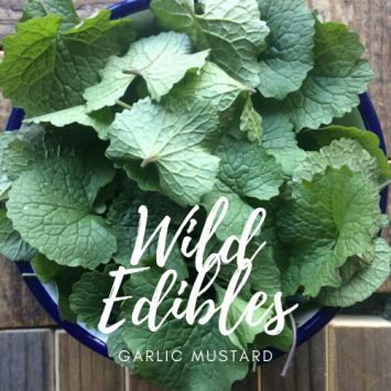 Wild Edibles - Garlic Mustard