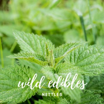 Wild Edibles - Nettle
