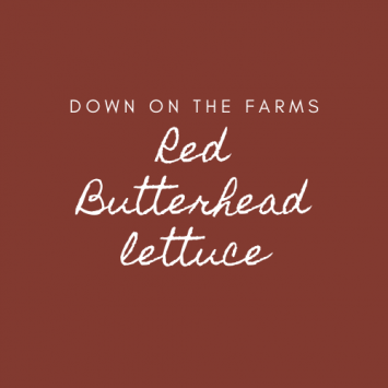 Down on the Farms Red Butterhead Lettuce
