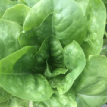 Buttercrunch Lettuce - Head