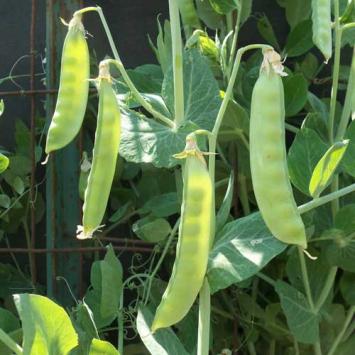 Swenson Snow Peas