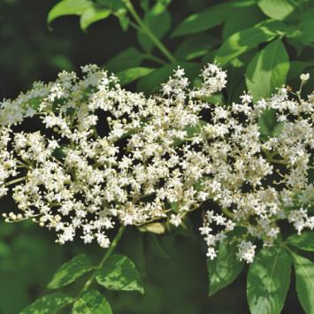 Dried Herbs - Elderflowers