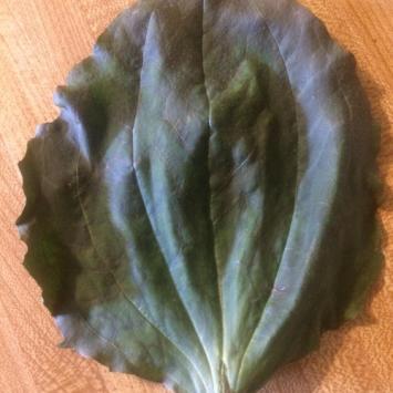 Dried Herbs - Plantain