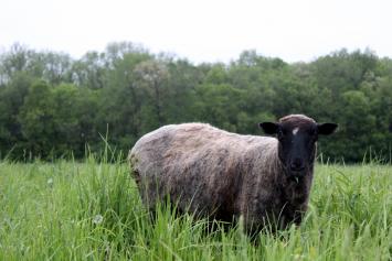 Lamb Chops + Shoulder Steak Bundle
