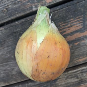 Yellow Onion - Large