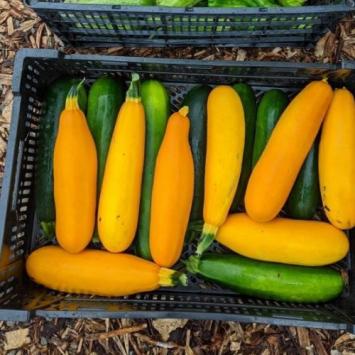 Zucchini - Large