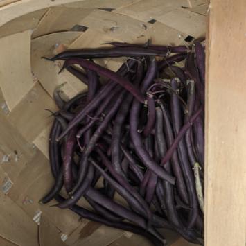 Royal Burgundy Bush Beans