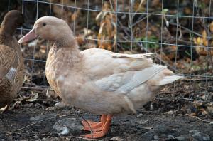Pastured Duck Preorder