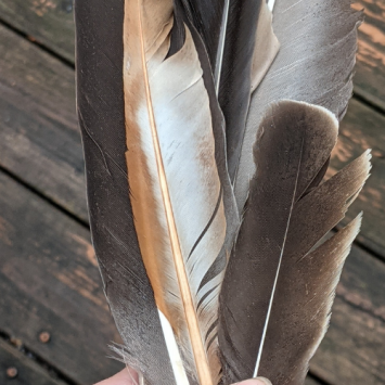 Gaggle of Goose Feathers