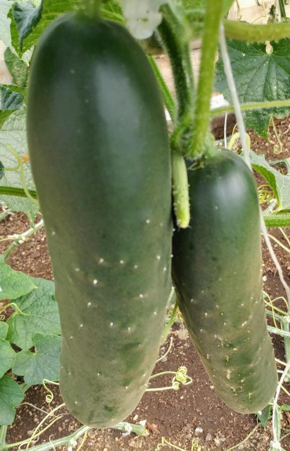 Cucumbers, KMG