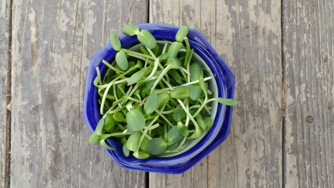 Microgreens, Sunflower IB