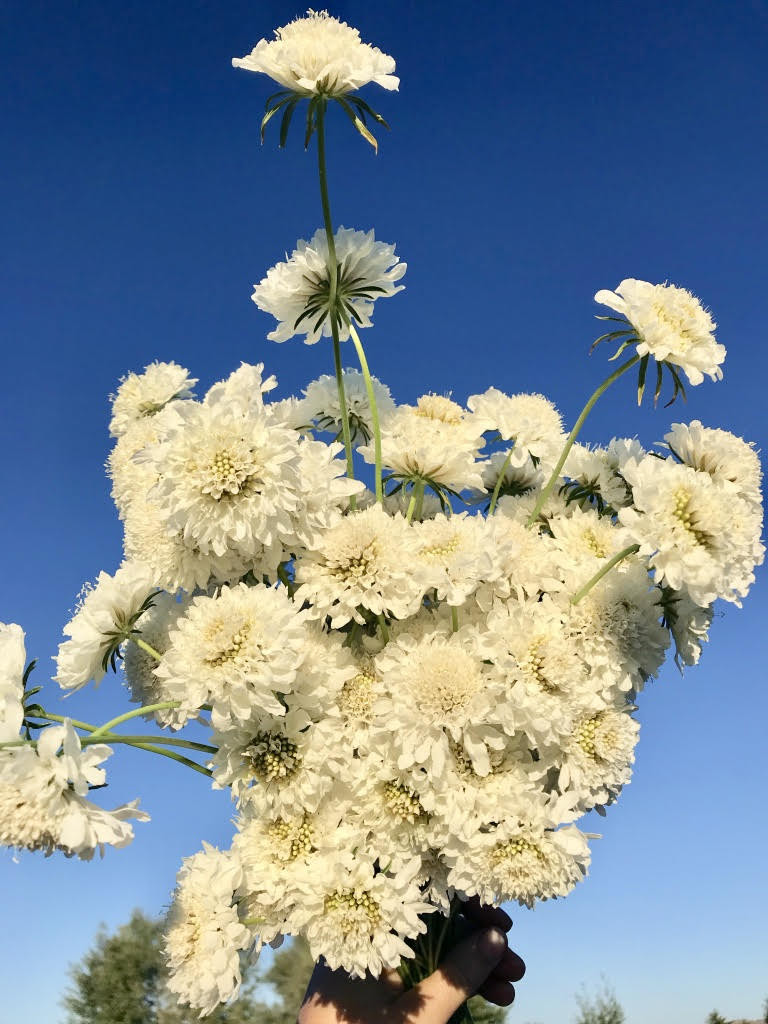 Snow Maiden Scabiosa Seeds