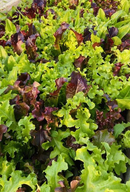 Lettuce, Salad Mix B&G