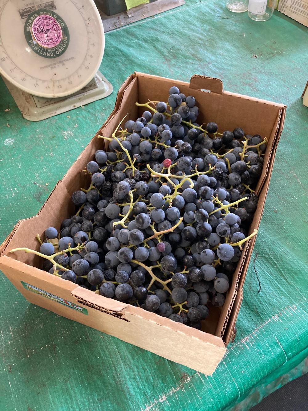 Grapes, Concord BULK WW