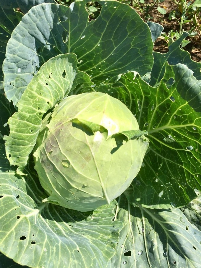 Green Cabbage, B&G