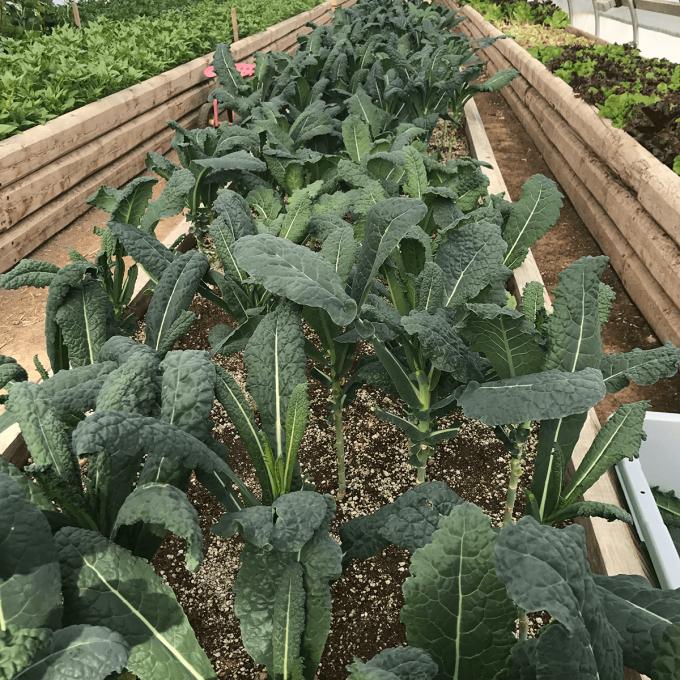 Kale, Tuscano