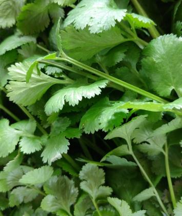 Herb, Cilantro