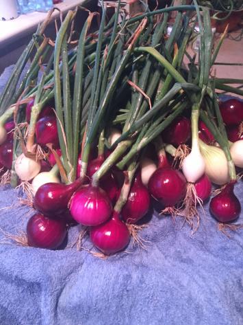 Onions, Fresh Variety Pack