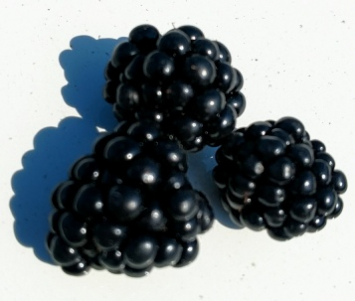 Blackberries, FA