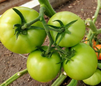 Green Tomatoes, KMG