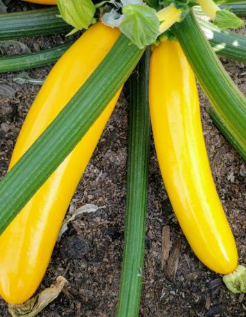 Zucchini, Yellow KMG