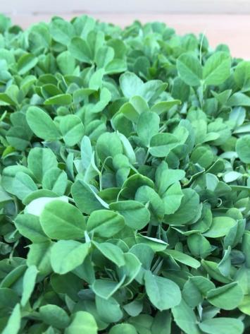 Micro-greens, Snap Pea