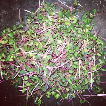 Microgreens, Radish SB