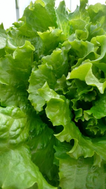 Lettuce, Green Leaf KH