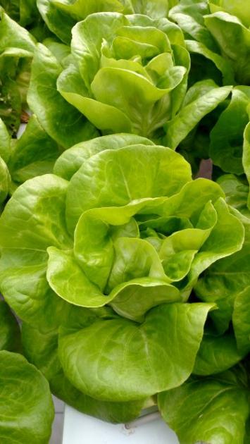 Butterhead Lettuce, BULK, KH