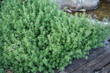 Herb, Thyme
