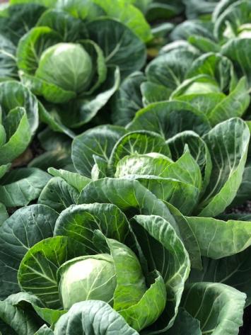 Cabbage, KMG