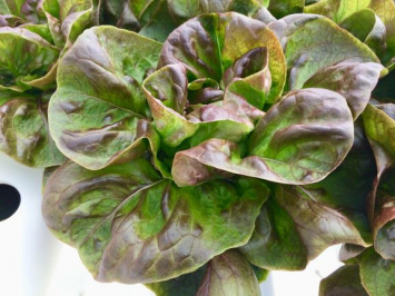 Teodore Red Butter Lettuce