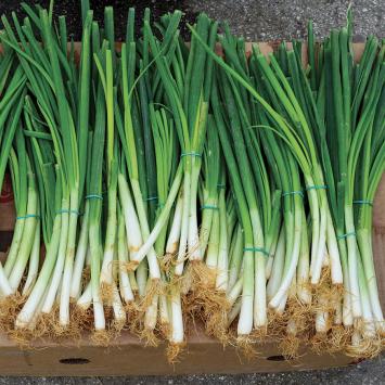 Garlic, Green