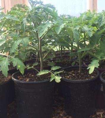 Plant Start, Big Beef Tomato SB