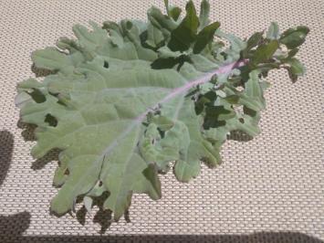 Kale, Purple FA