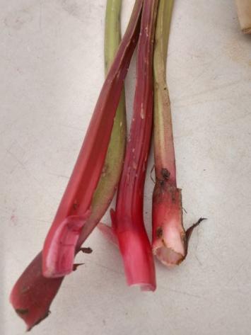 Ruby Red Rhubarb