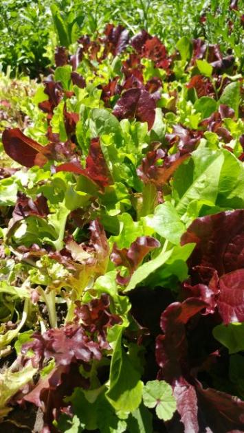 Mixed Lettuce, IB